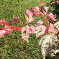 Acer conspicuum 'Red Flamingo' (2)