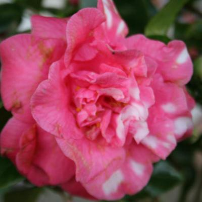 Camellia japonica 'Betty'