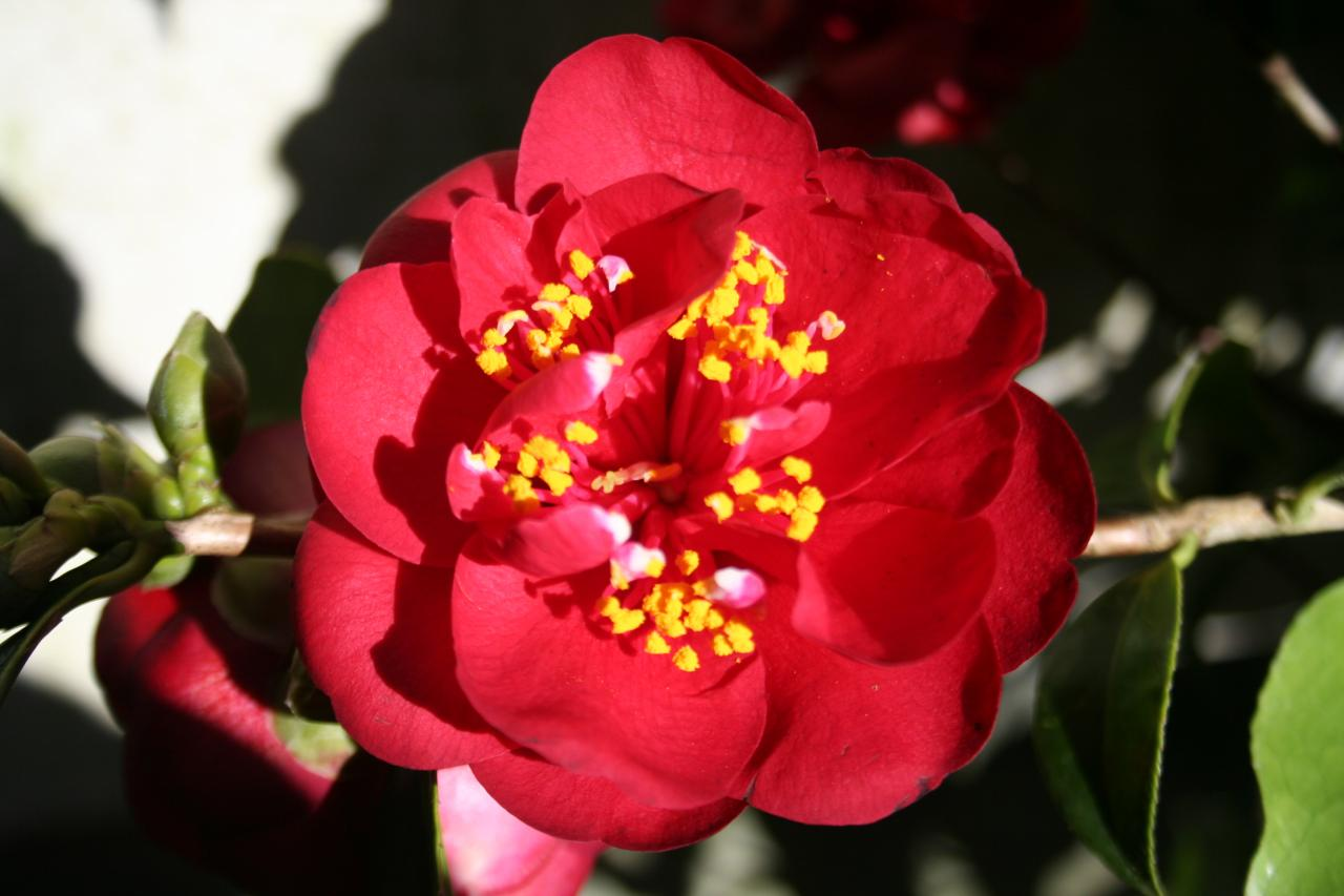Camellia japonica 'Maroon and Gold'-5-