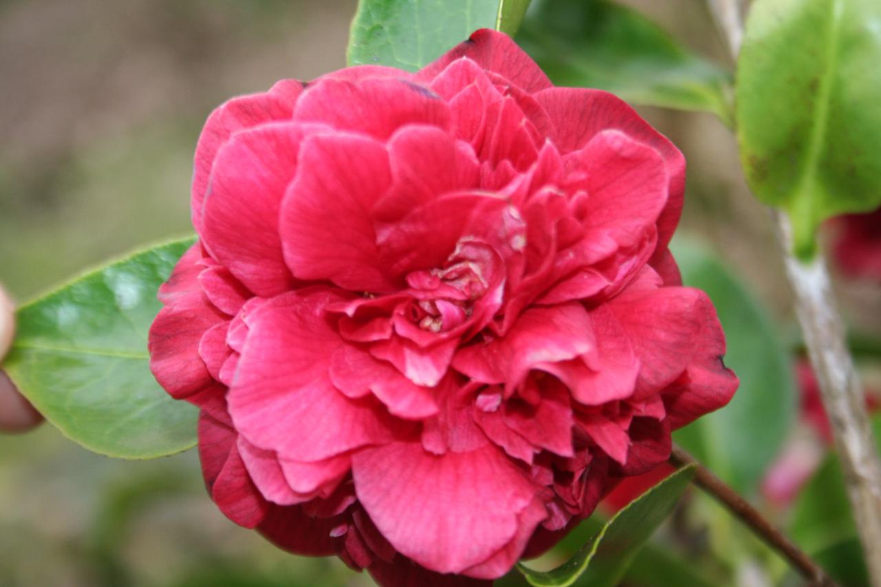 Camellia japonica 'Mrs Charles Cobb'-5-