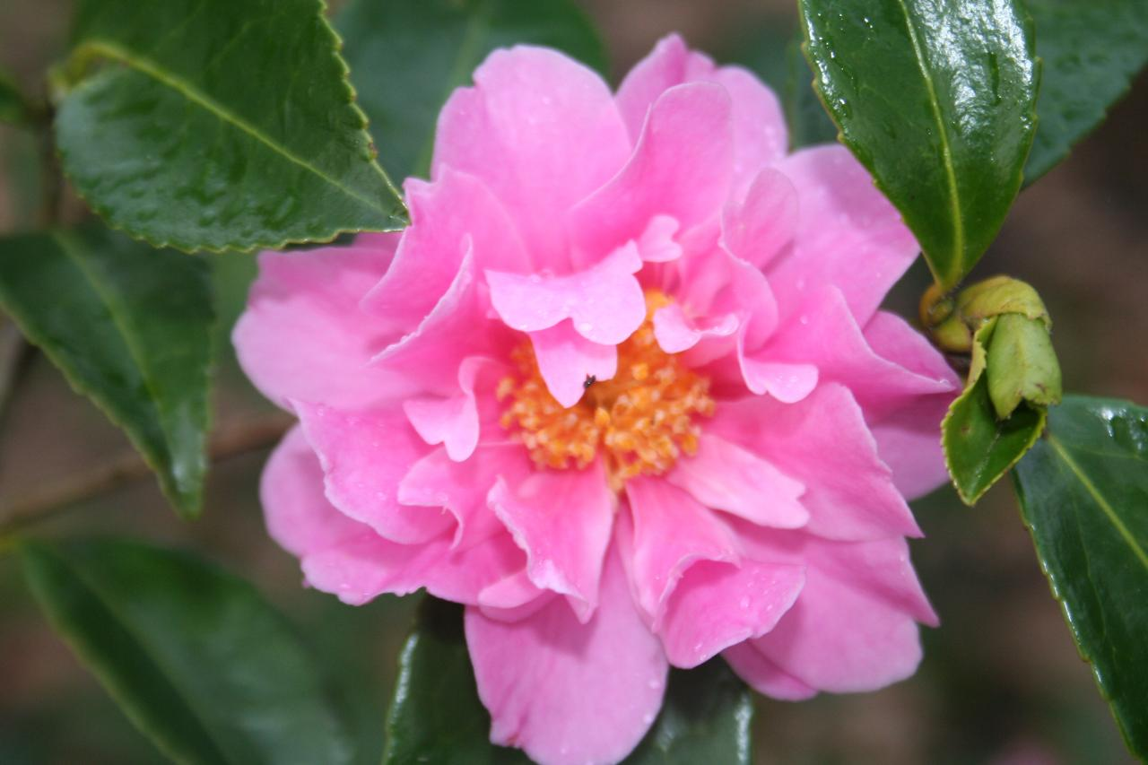 Camellia sasanqua 'Winter Joy'