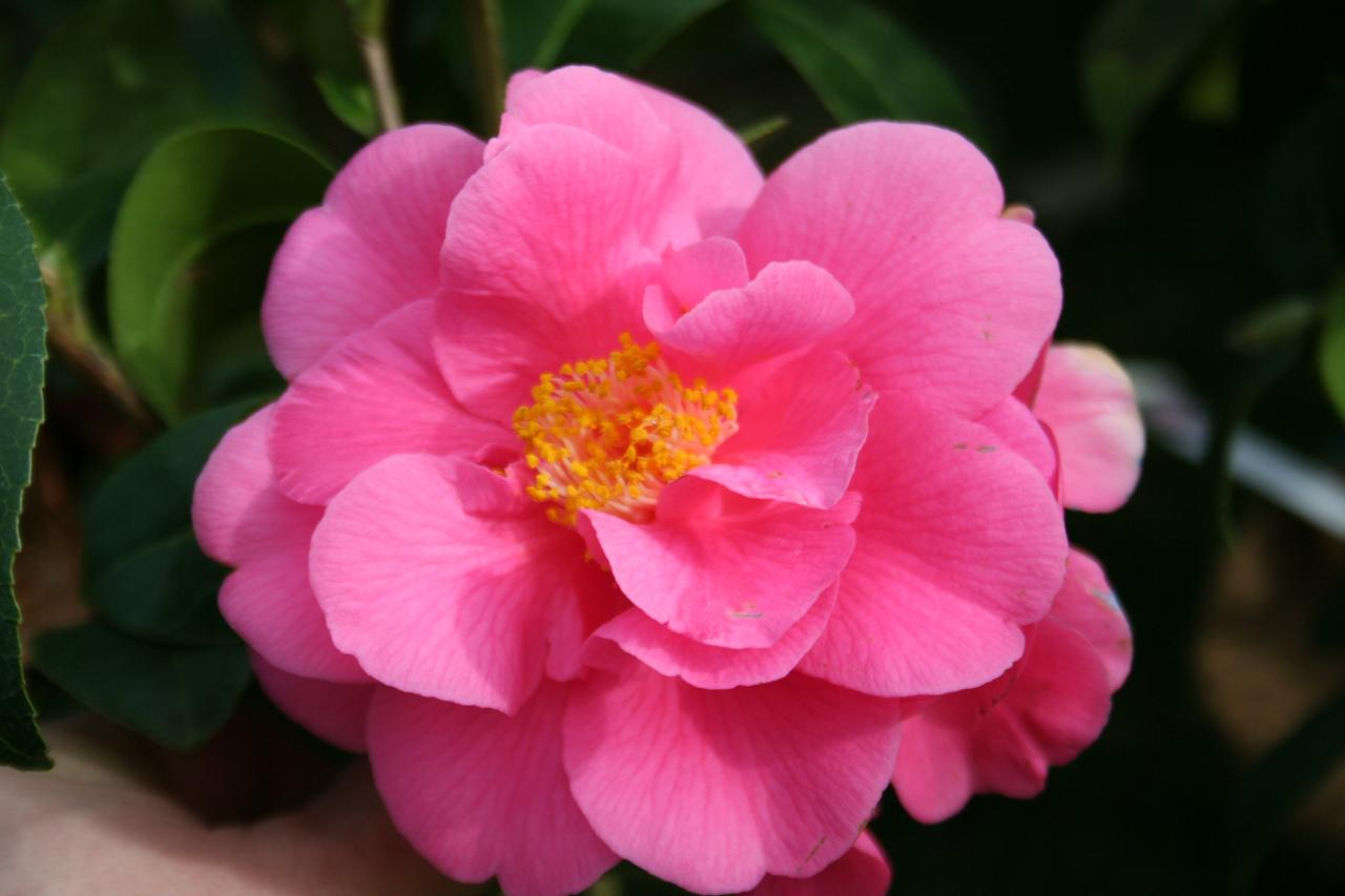 Camellia x williamsii 'Blue Danube'