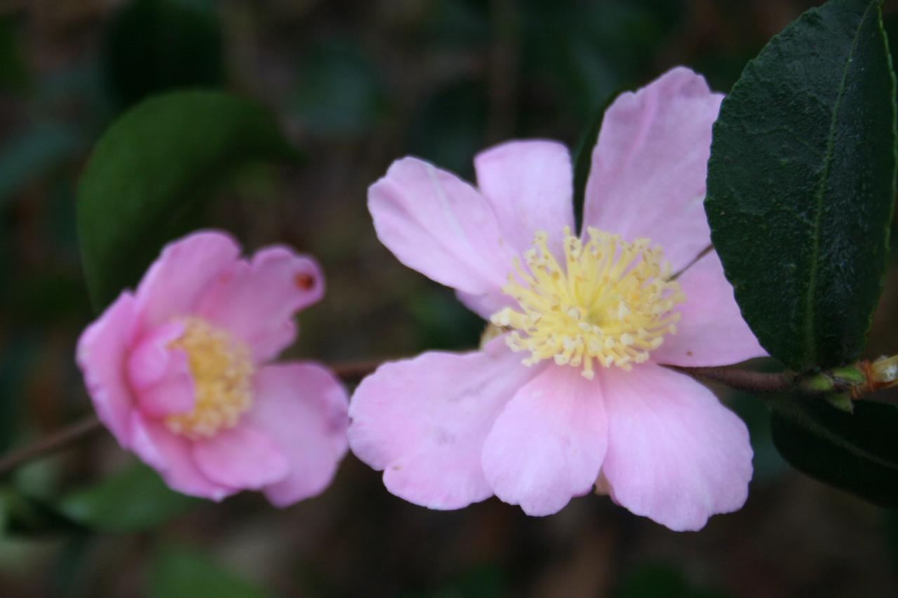 Camellia williamsii 'Winter Gem'