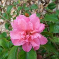 Camellia x 'Fragrant Pink' (2)