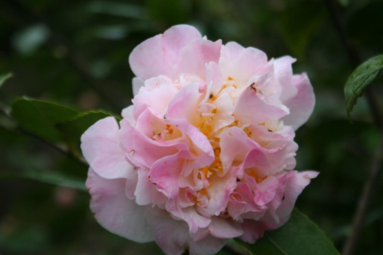 Camellia x 'High Fragrance'-7-