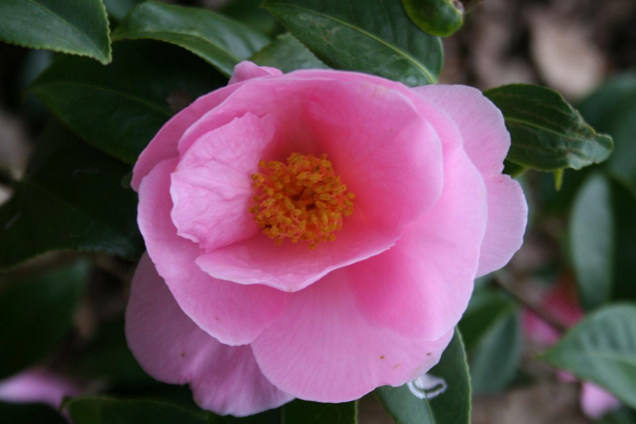 Camellia x williamsii 'Donation'-4-