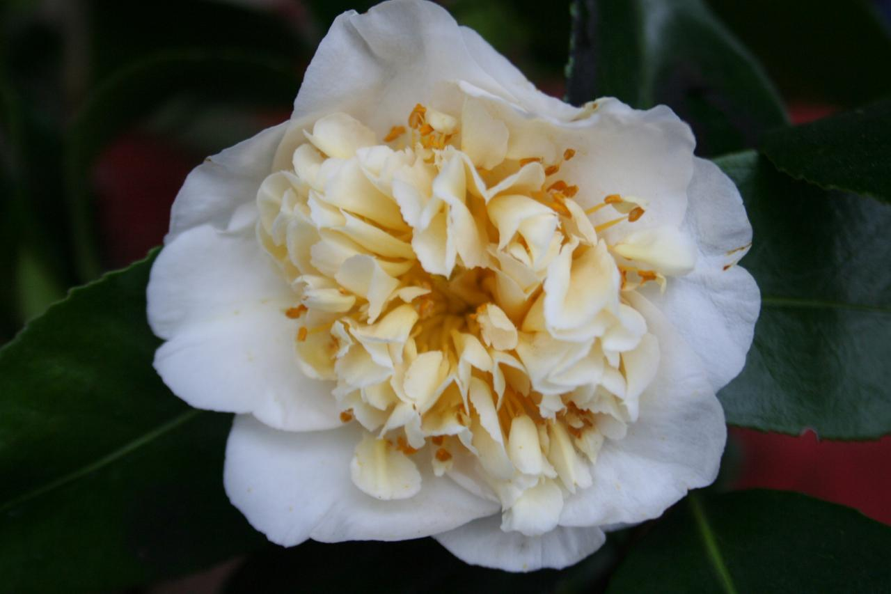 Camellia x williamsii 'Jury's Yellow'-6-