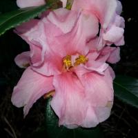 Camellia x williamsii 'Lucky Star' (2)