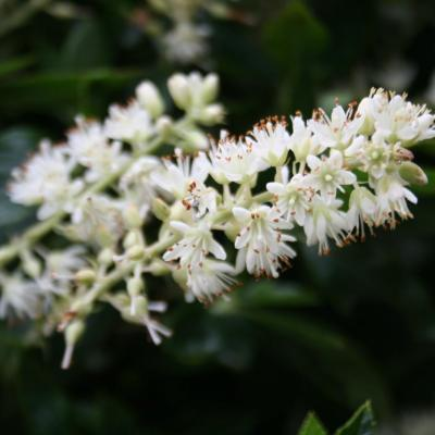 Clethra alnifolia 'Sixteen Candles'-2-