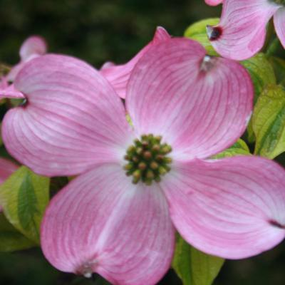 Cornus florida 'Cherokee Sunset'