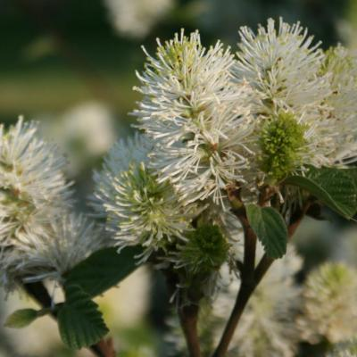 Fothergilla gardenii 'Blue Shadow'-7-