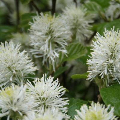 Fothergilla major-3-