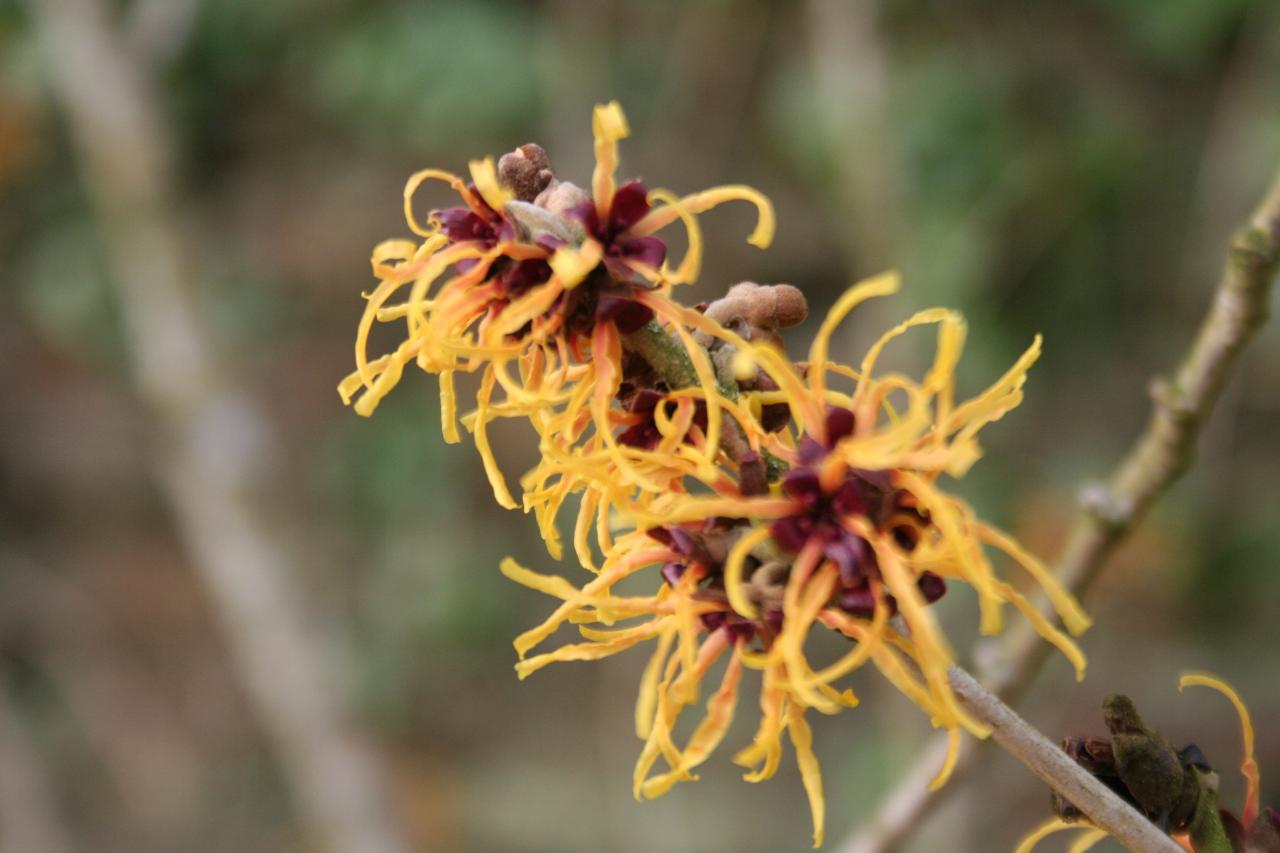 Hamamelis xintermedia 'Orange Beauty'