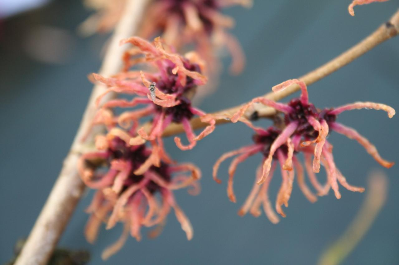 Hamamelis xintermedia 'Strawberries and  Cream'