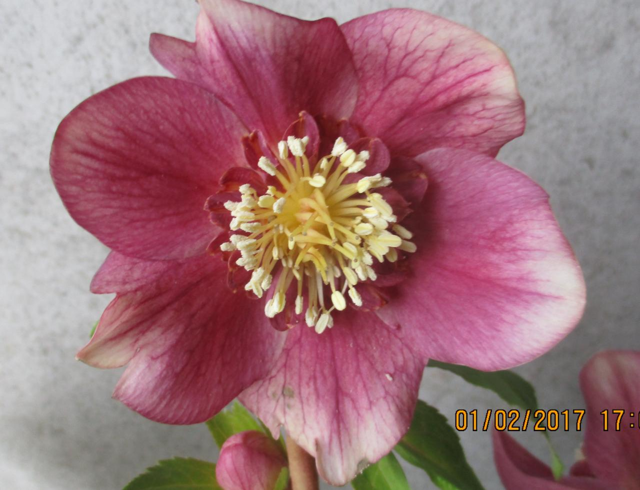 Helleborus orientalis 'Anemone Red' Wilgenbroek Selection - Copie