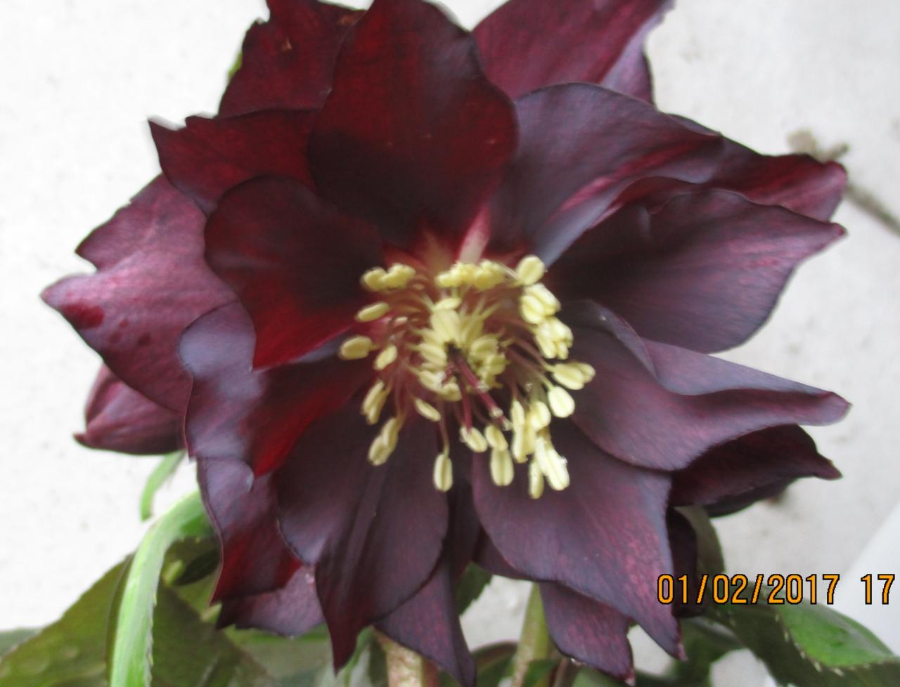 Helleborus orientalis 'Double Black' Wilgenbroek Selection - Copie