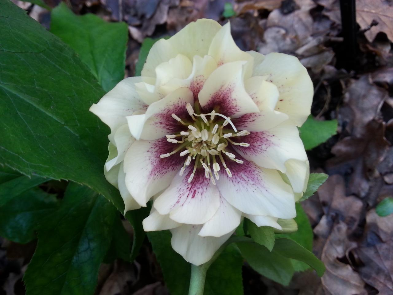 Helleborus orientalis 'Double Creme with Red Center' WS