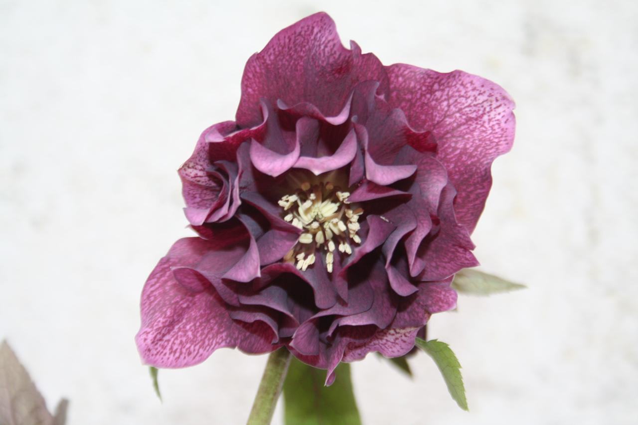 Helleborus orientalis 'Double Dark' Wilgenbroek Selection