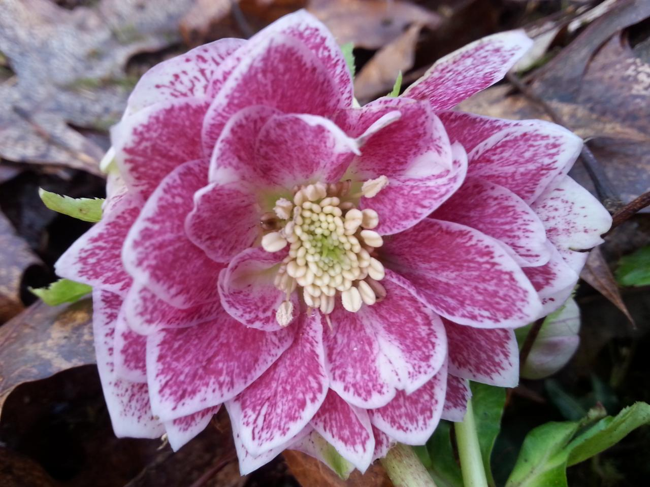 Helleborus orientalis 'Double Pink with Green Center' WS mauvais nom