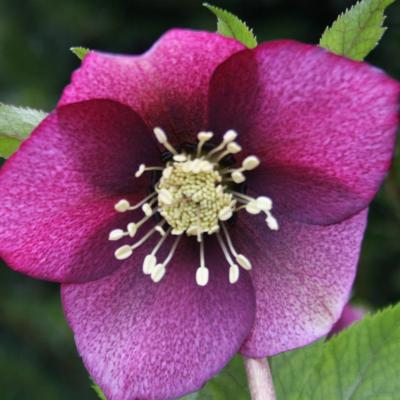Helleborus orientalis mixed colors Wilgenbroek Selection-2-