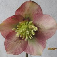 Helleborus orientalis 'Peach with Red Heart' WS - Copie (2)