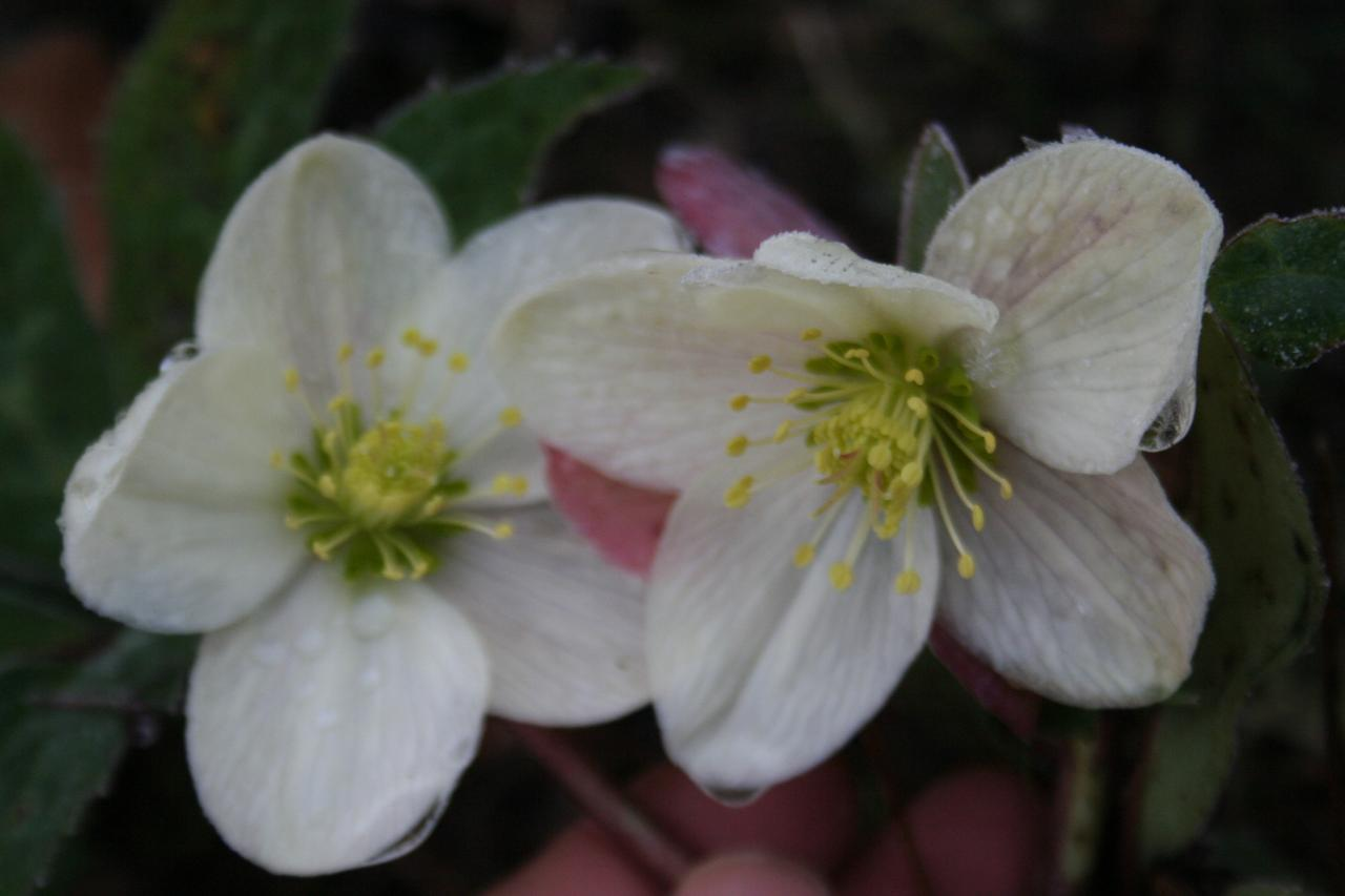 Helleborus xericsmithii WINTER MAGIC® 'Candy Love'-3-