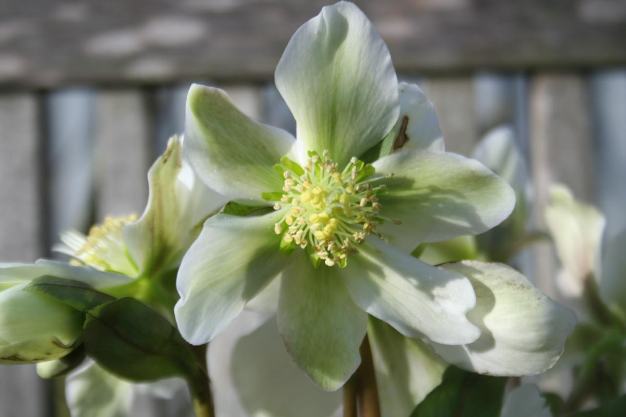 Helleborus xnigercors 'Winter Star'-3-