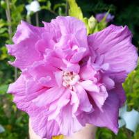 Hibiscus syriacus FRENCH CABARET PURPLE-2-