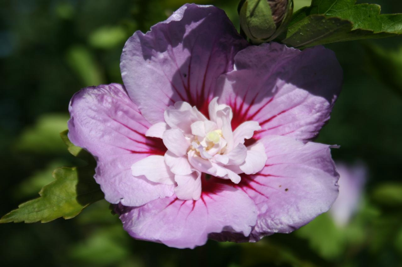 Hibiscus syriacus LAVENDER CHIFFON® 'Notwoodone' -7-