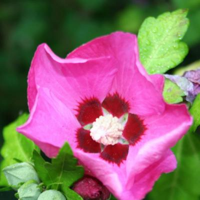 Hibiscus syriacus RUSSIAN VIOLET® 'Floru'