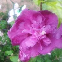 Hibiscus syriacus 'Summer Night'® (2)