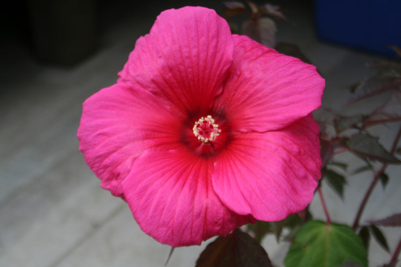 Hibiscus x moscheutos PLANET® GRIOTTE 'Tangri'