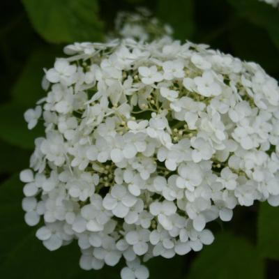 Hydrangea arborescens INCREDIBALL ®'Abetwo'-3-