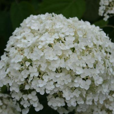 Hydrangea arborescens INCREDIBALL ®'Abetwo'-4-