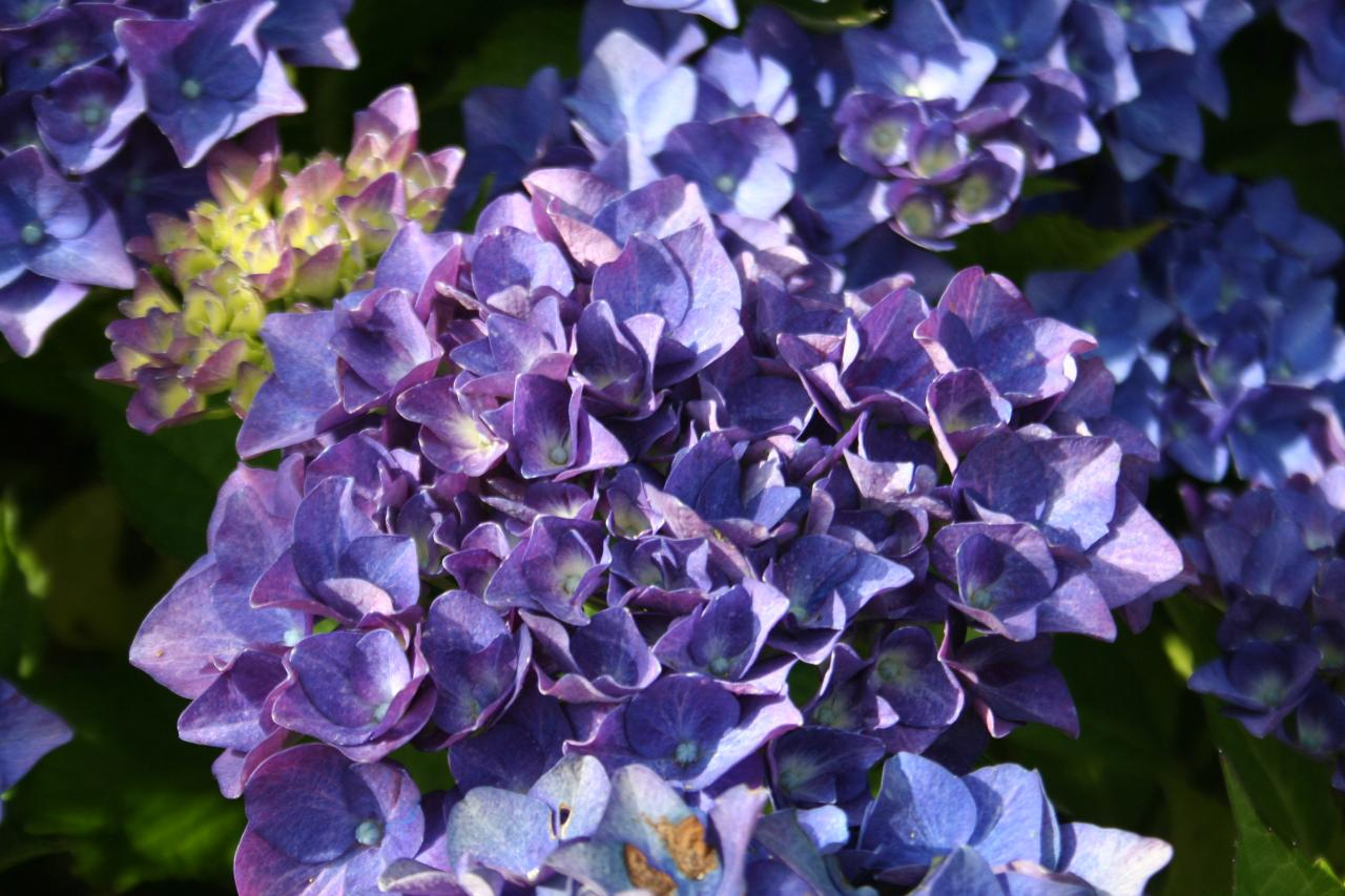 Hydrangea macrophylla 'AB Green Shadow'-8-