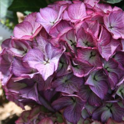 Hydrangea macrophylla BLACK DIAMONDS® 'Baroque Angel'-3-