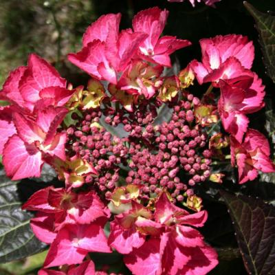 Hydrangea macrophylla BLACK DIAMONDS® 'Dark Angel'