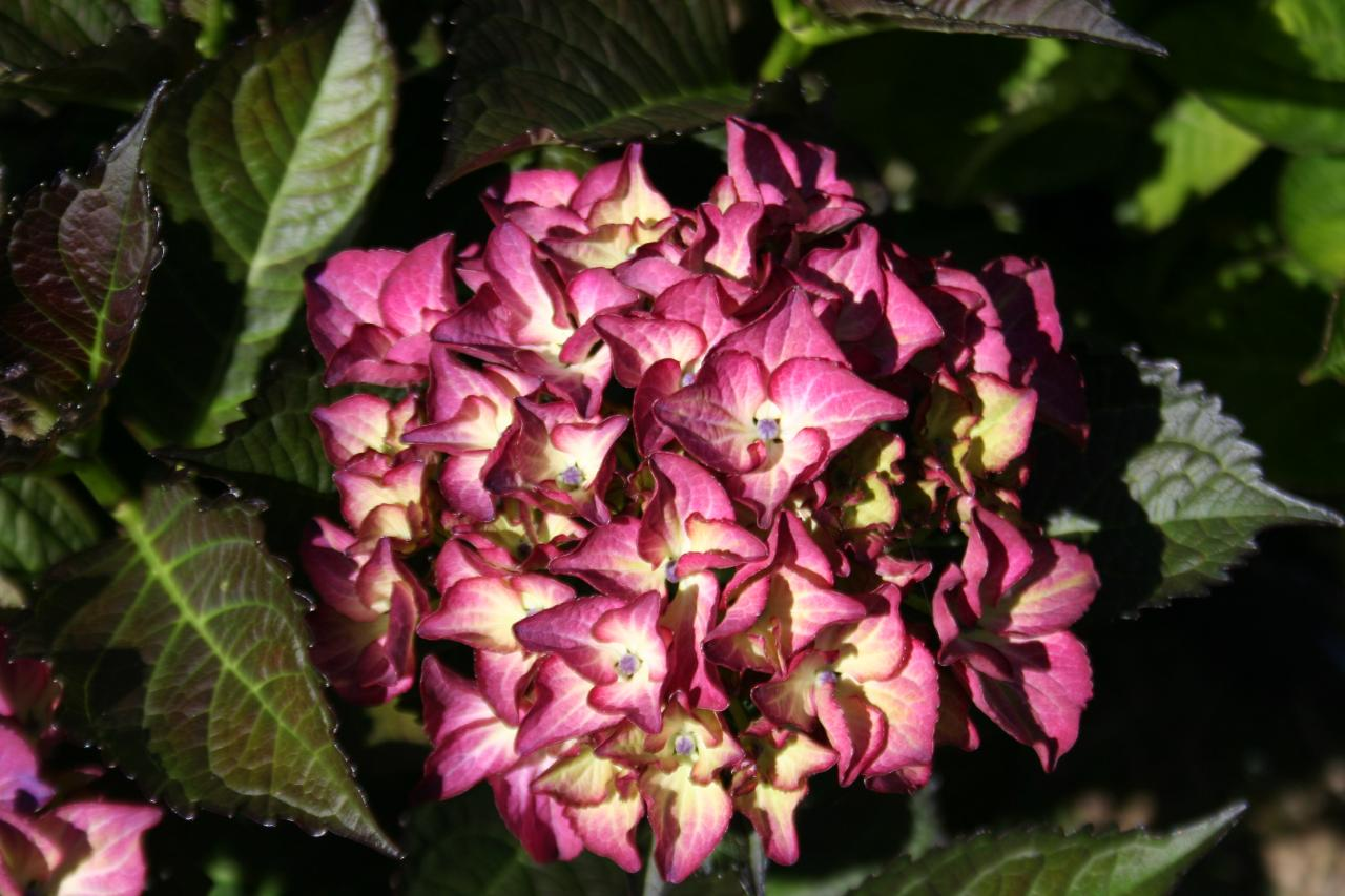 Hortensia black diamond