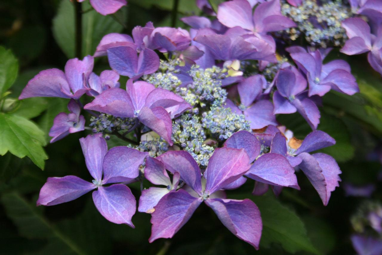 Hydrangea macrophylla DUTCH LADIES 'Selina' ®-5-