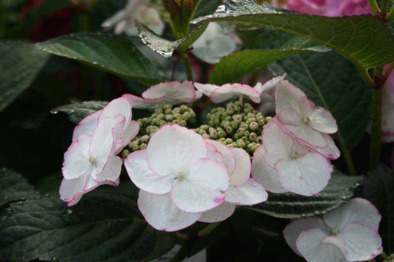 Hydrangea macrophylla DUTCH LADIES 'Selina' ®-7-