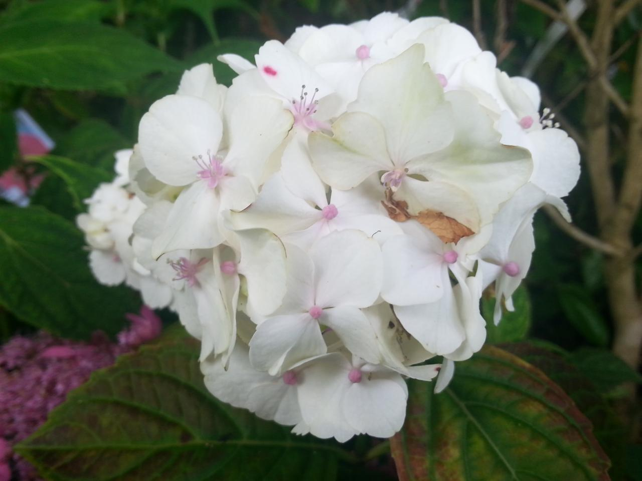 Hydrangea macrophylla 'Glyn Church'