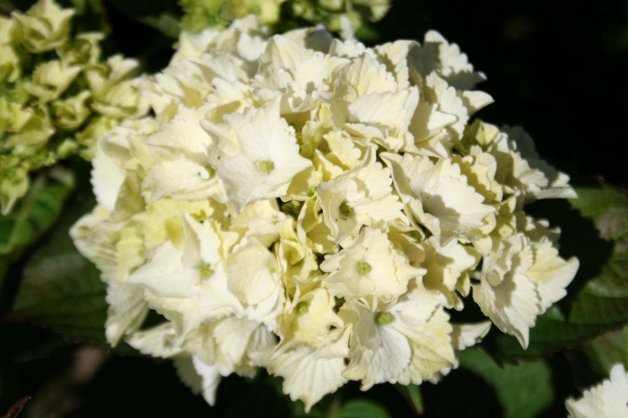 Hydrangea macrophylla MAGICAL® Four Seasons 'Noblesse'