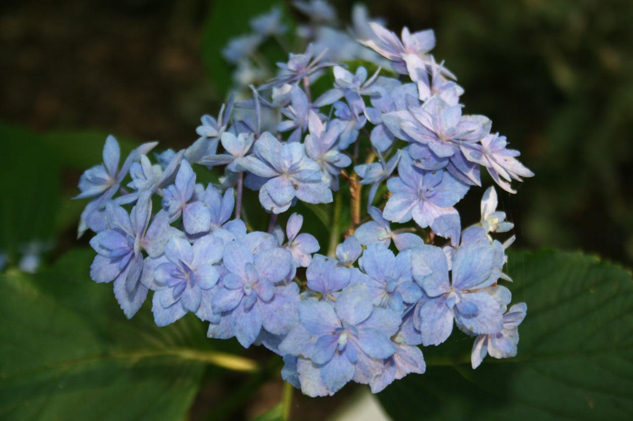 Hydrangea macrophylla YOU & ME 'Expression'® -4-