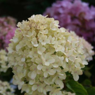 Hydrangea paniculata LITTLE LIME® 'Jane'