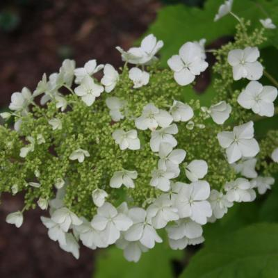 Hydrangea quercifolia 'Little Honey'-4-