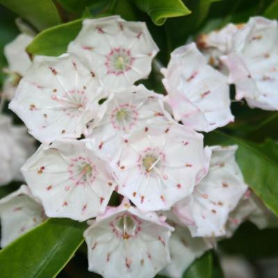 Kalmia latifolia 'Olympic Fire'-3-