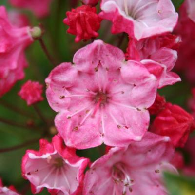 Kalmia latifolia 'Ostbo Red'-7-