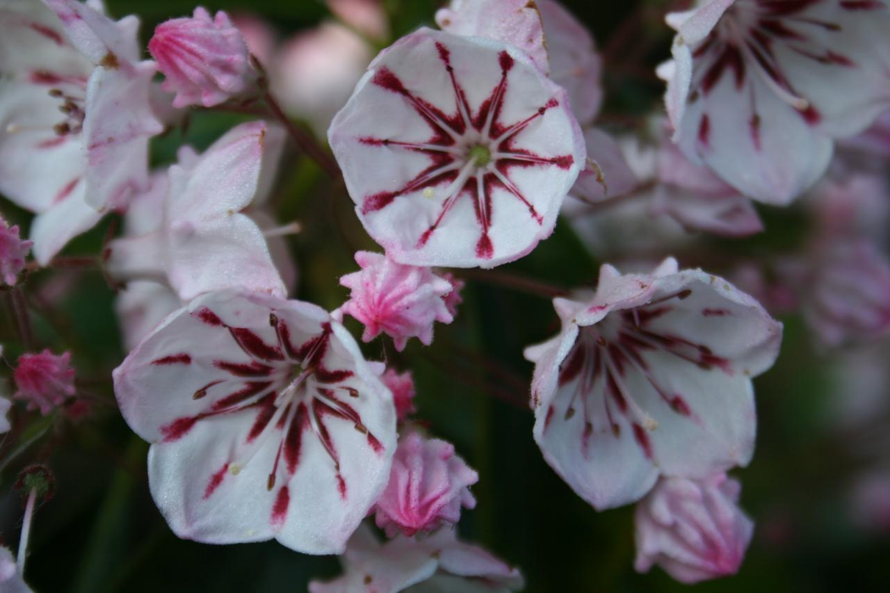 Kalmia latifolia 'Peppermint'-4-