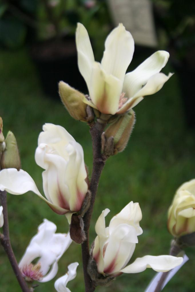 Magnolia 'Green Diamond'-3-