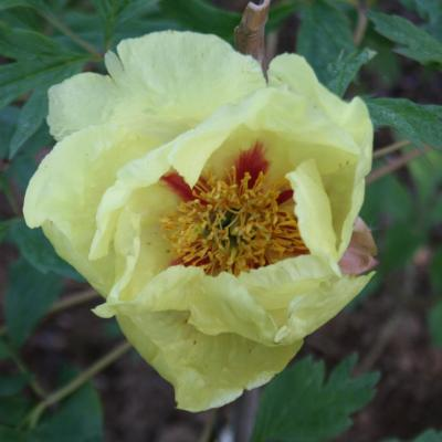 Paeonia x 'Golden Bowl'